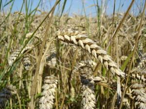 pšeničné pole - problém pro dětské celiaky